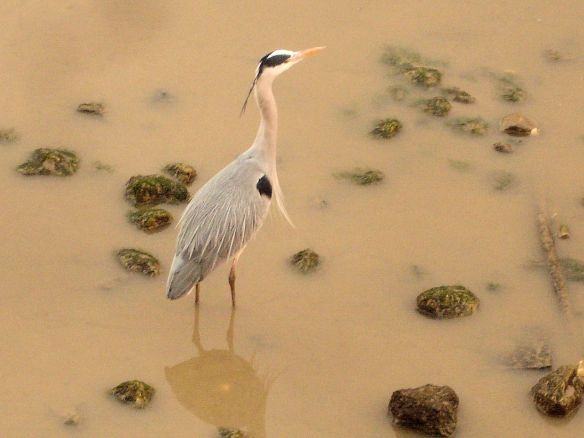 Heron at Deptford, Thames foreshore 2016